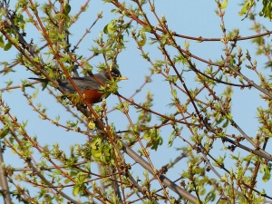 One of a multitude of Robins.
