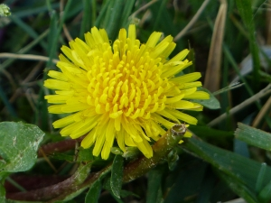 Even dandy's can be lovely. The honey bees think so! My lawn, in spring, abounds with them.