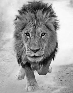 lion runs